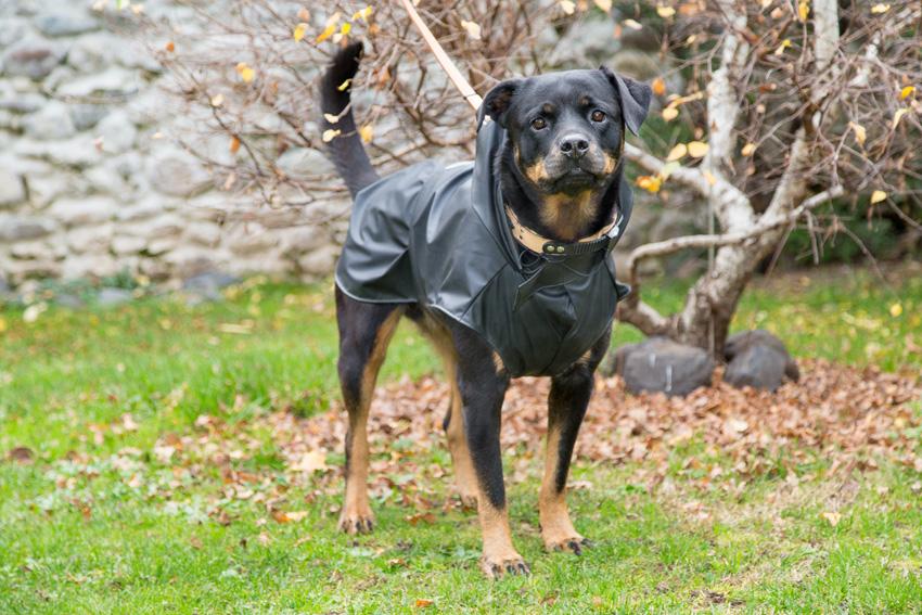 cane di razza rottweiler con cappotto impermeabile e anti-vento per cani Trench Black di Ferplast