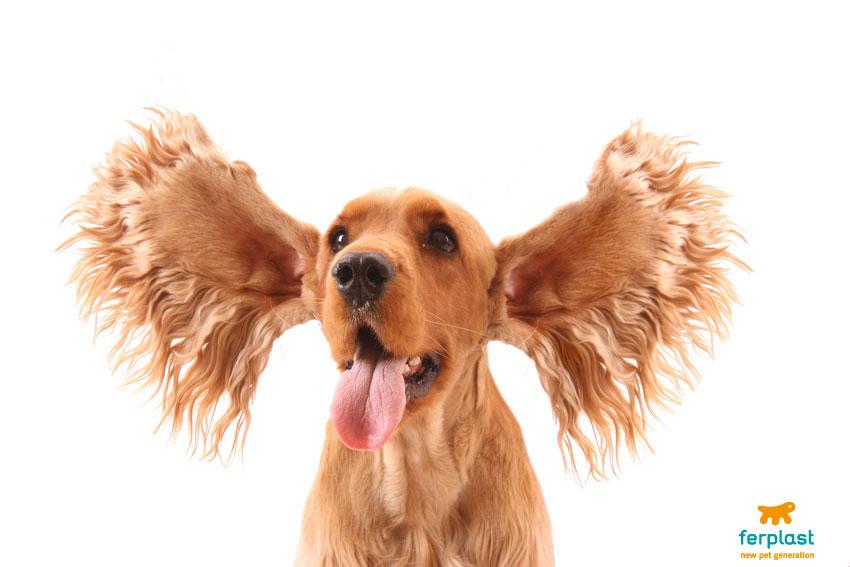 cane di razza cocker con orecchie svolazzanti