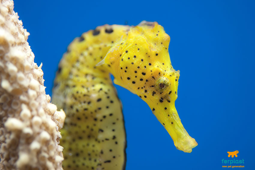 Keeping seahorses in aquarium pearls for your fish tank for Immagini cavalluccio marino