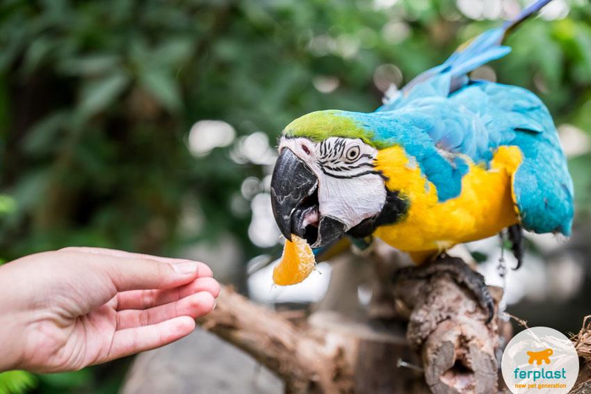 uomo che dà da mangiare una fetta d'arancia a un pappagallo ara