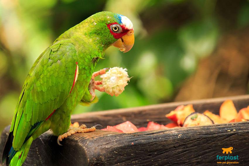 pappagallo-mangiatoia-cibo-frutta