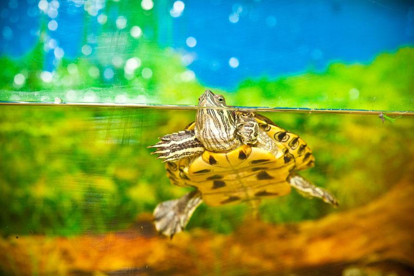 caratteristiche-tartaruga-acquario