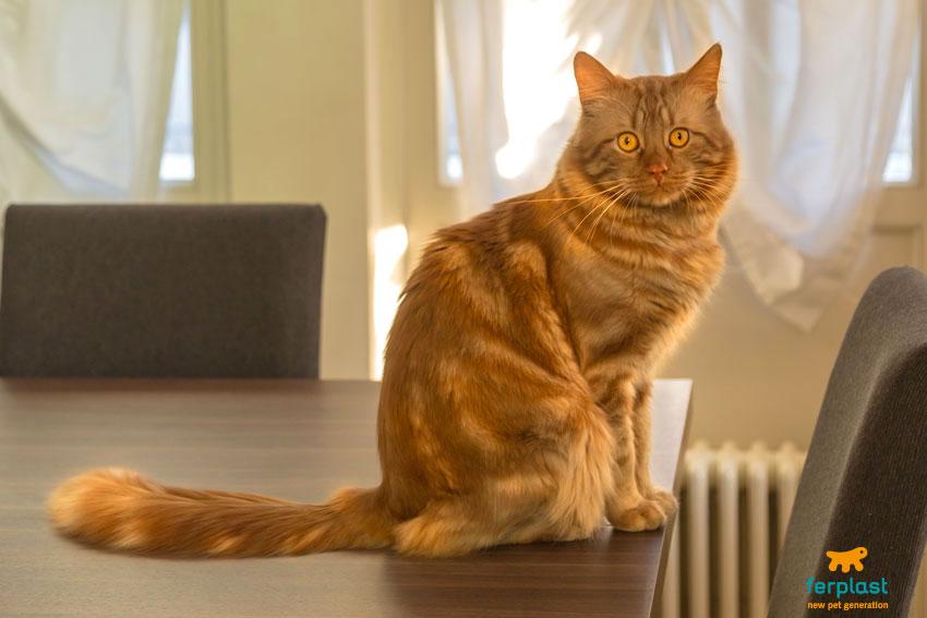 educare-un-gatto-rosso-maleducato-tavolo