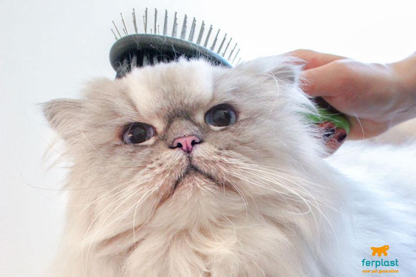 gatto Persiano Cincillà che viene spazzolato