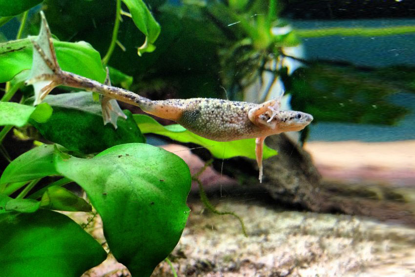 Raising frogs in the aquarium hymenochirus dwarf frogs for Fish tank frogs