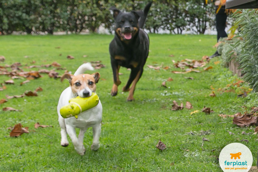 cani di razza Jack Russell e Rottweiler che giocano insieme