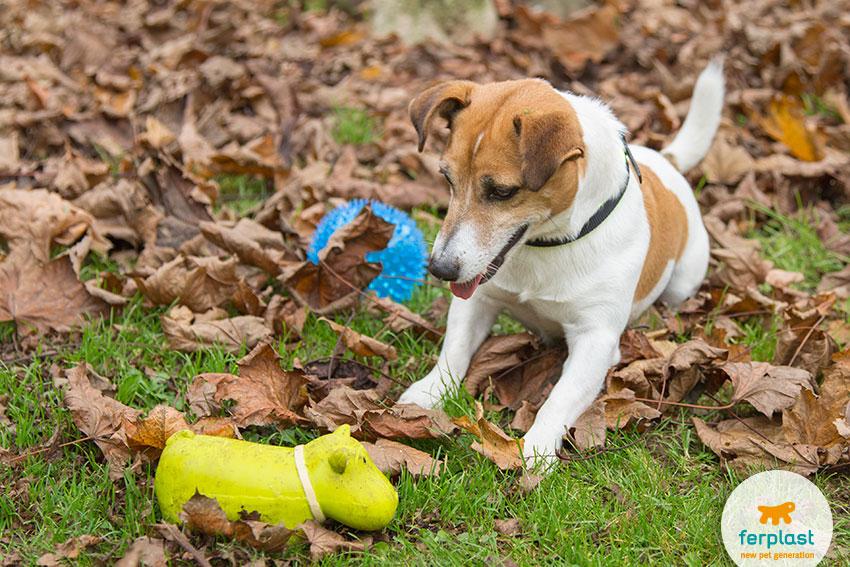 cane di razza Jack Russell che gioca con dei giochi per cani