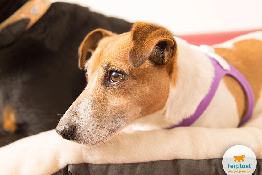 cane di razza Jack Russell