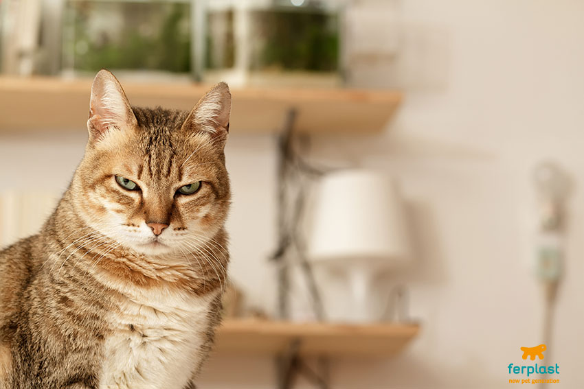 gatto con sguardo arrabbiato