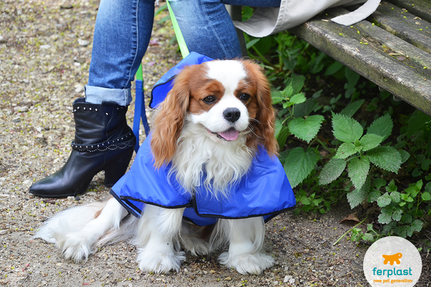 carattere_cavalier_king