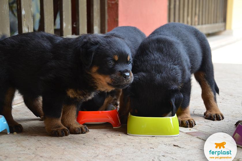 rottweiler_cachorros_precio
