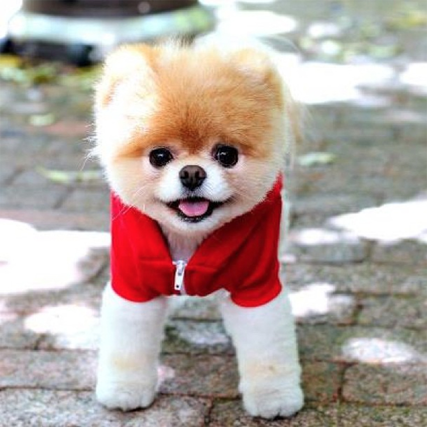 What kind of dog looks like a little teddy bear