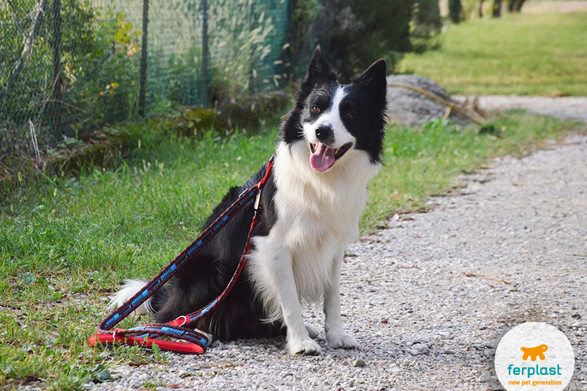 border_collie_temperamento