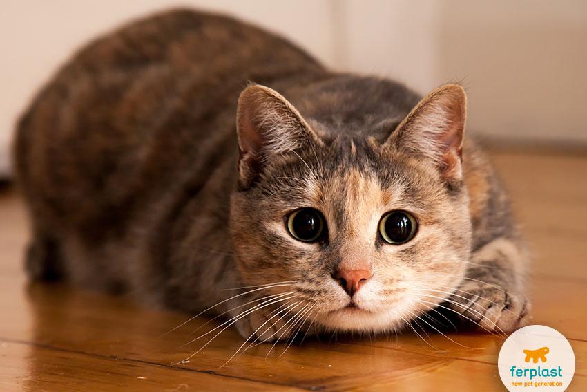 occhi del gatto con pupille allargate al massimo per cacciare