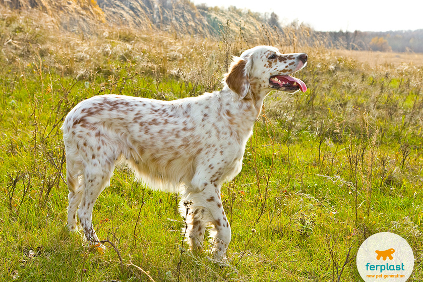Il setter inglese un cane agile e dal fiuto infallibile for Affettuoso in inglese