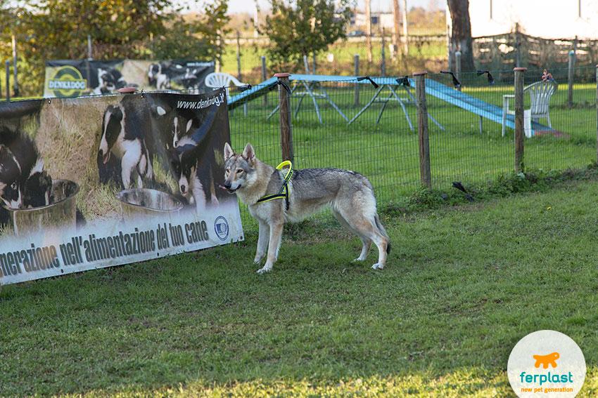 allevamento cane lupo cecoslovacco vicenza