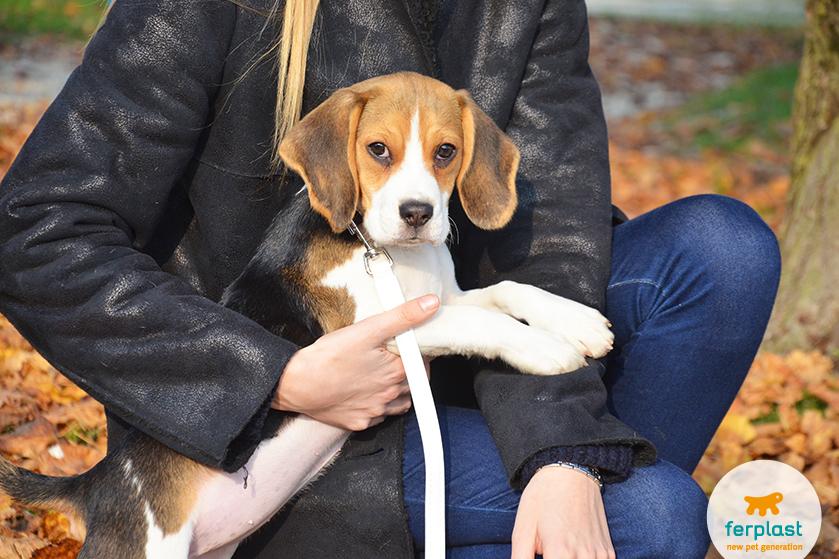 beagle_cucciolo_iperattivo