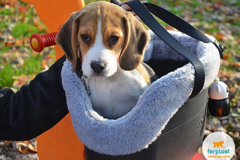 cane_beagle_caratteristiche