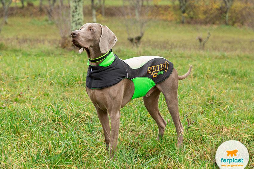 cane di razza Weimaraner con pelo blu-grigio argentato