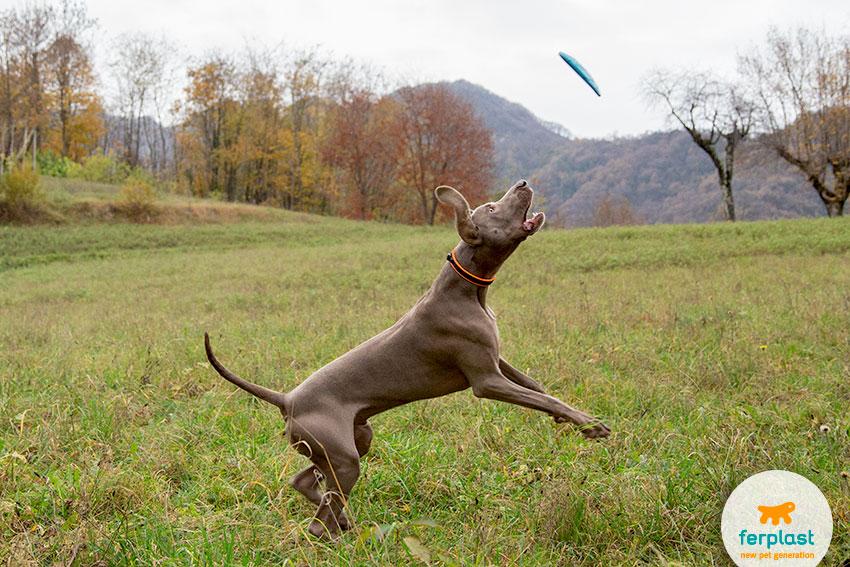 weimaraner che gioca con il frisbee