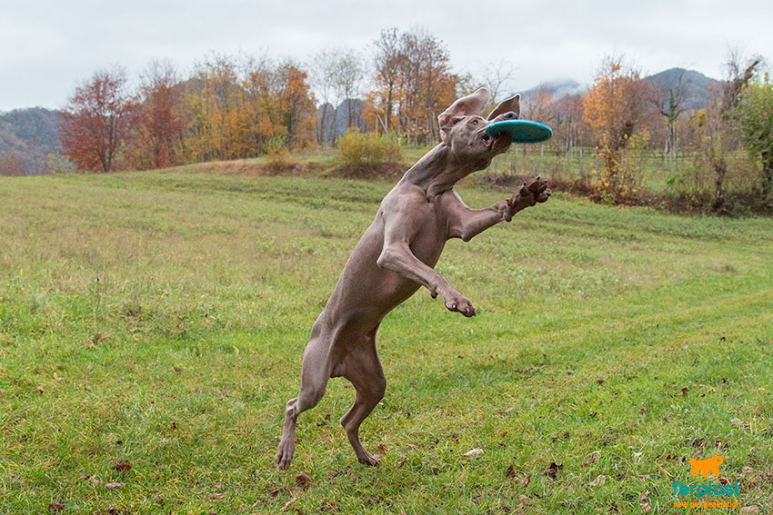 disc-dog-come-iniziare-weimaraner-frisbee-cane