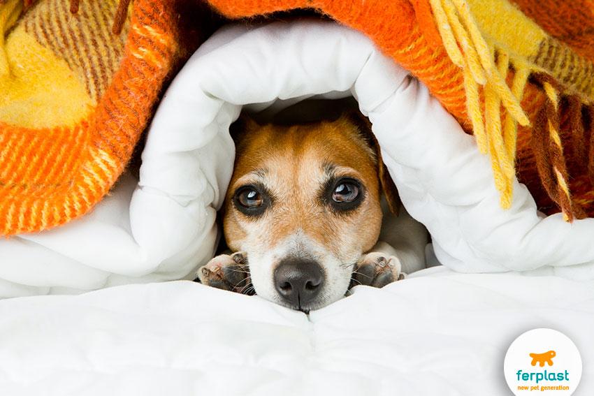 jack russell che si protegge dal freddo sotto una coperta