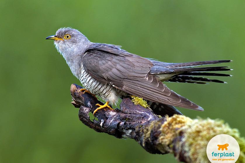 cuculo_uccello_migratore