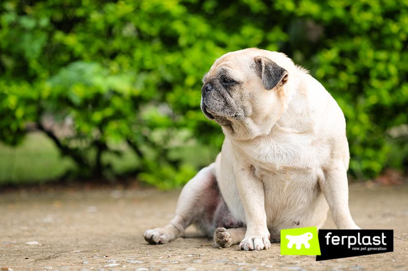 cão_velho_rosto_doenças_obesidade