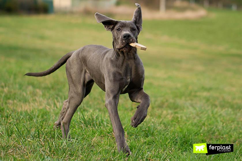 alano-cane-fuga