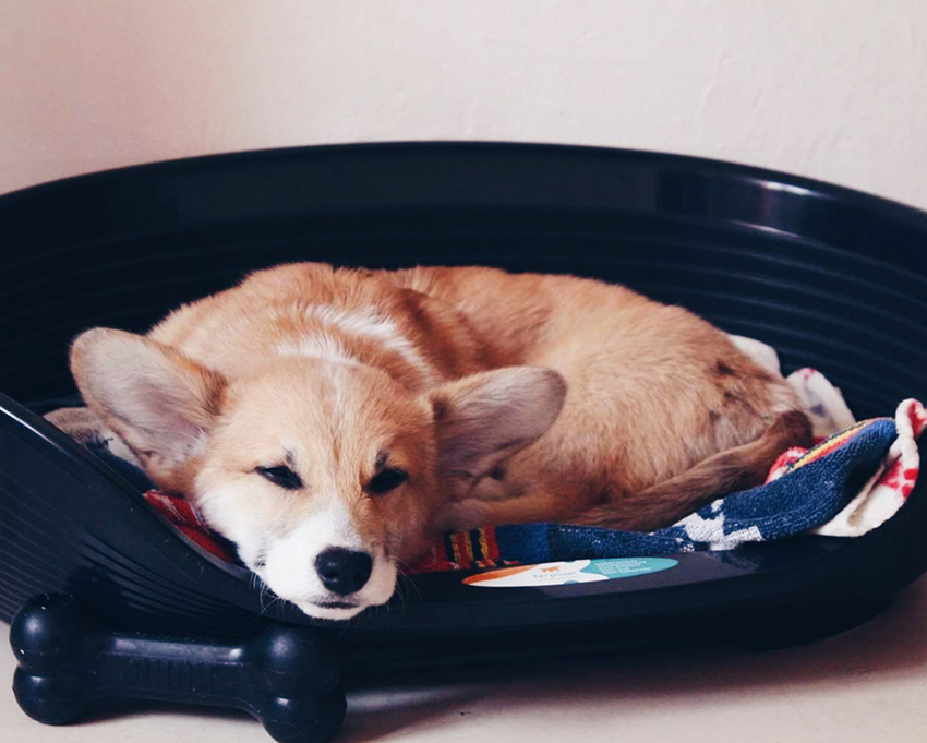 @anakin_the_corgi