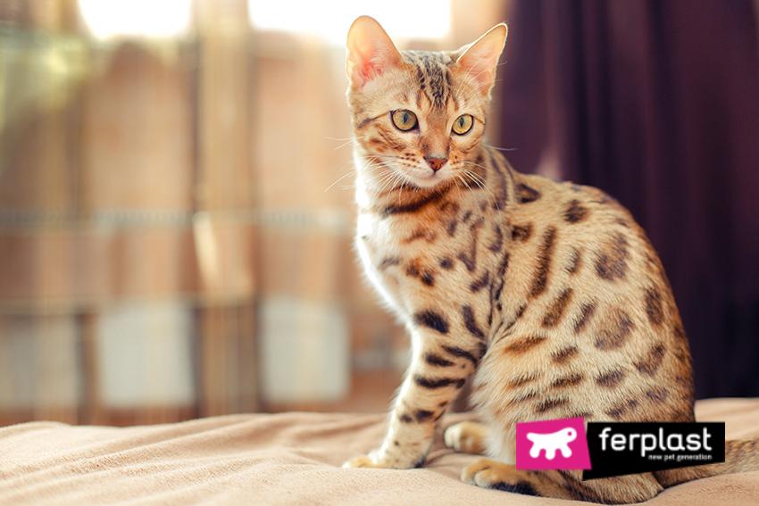 gato_de_Bengal_preço_pelagem_caráter