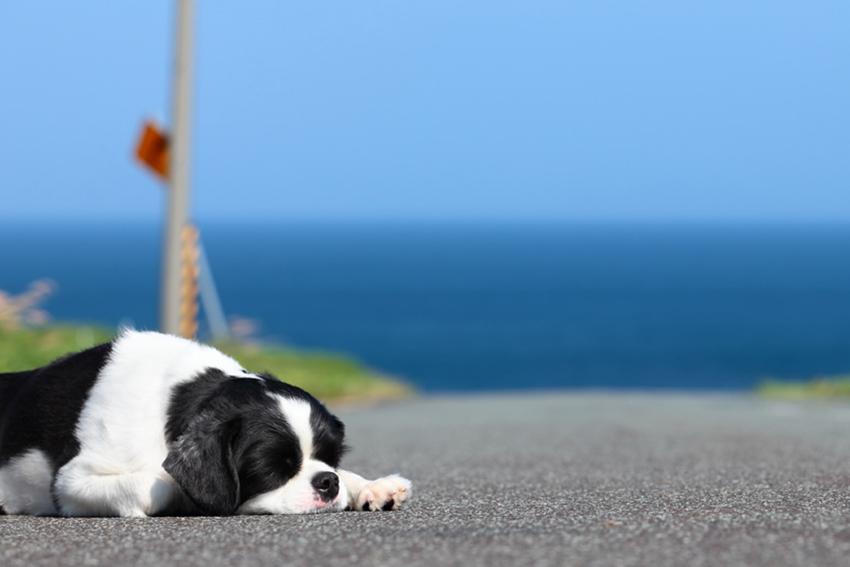 yawning basset hound
