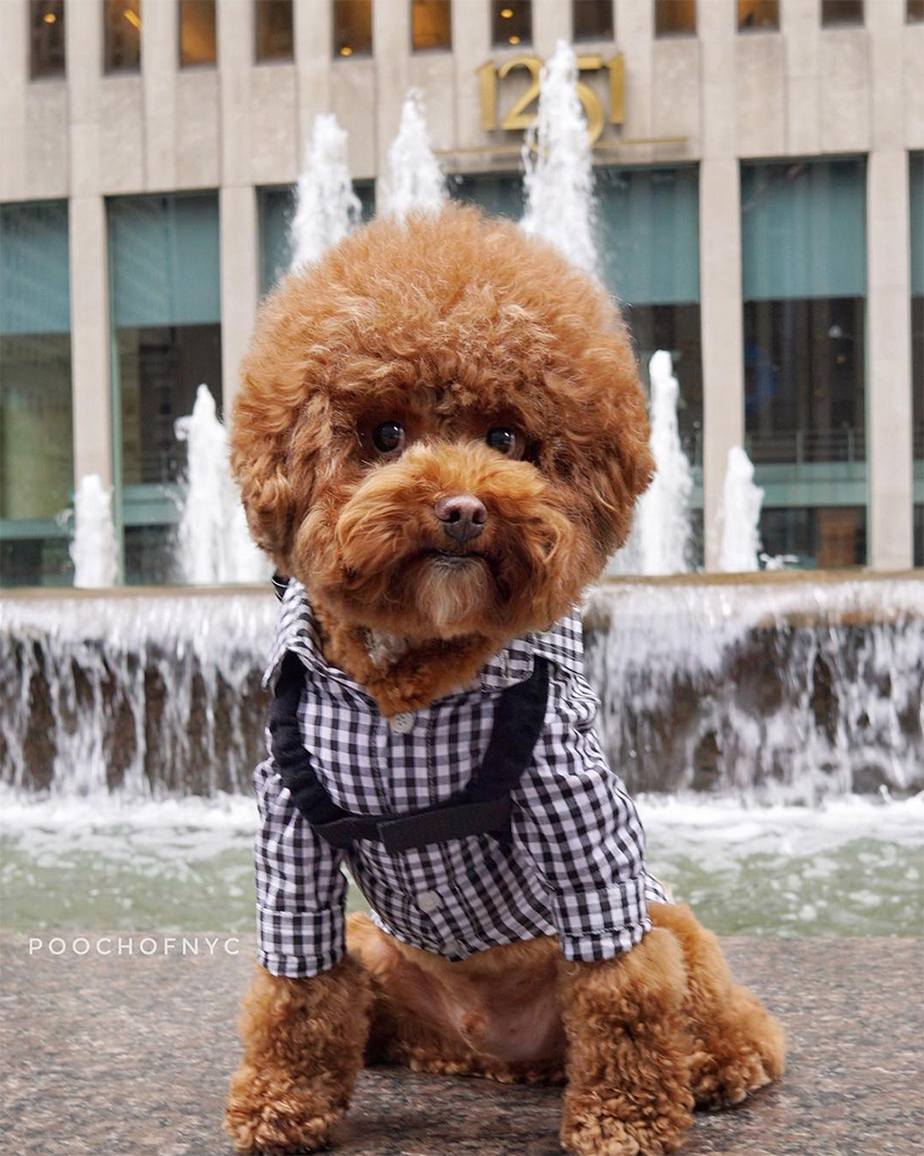 pooch_of_nyc_instagram_influencer_dog