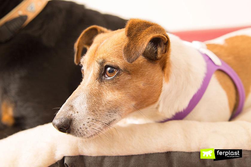 orelhas_do_cachorro_apontadas_para_frente