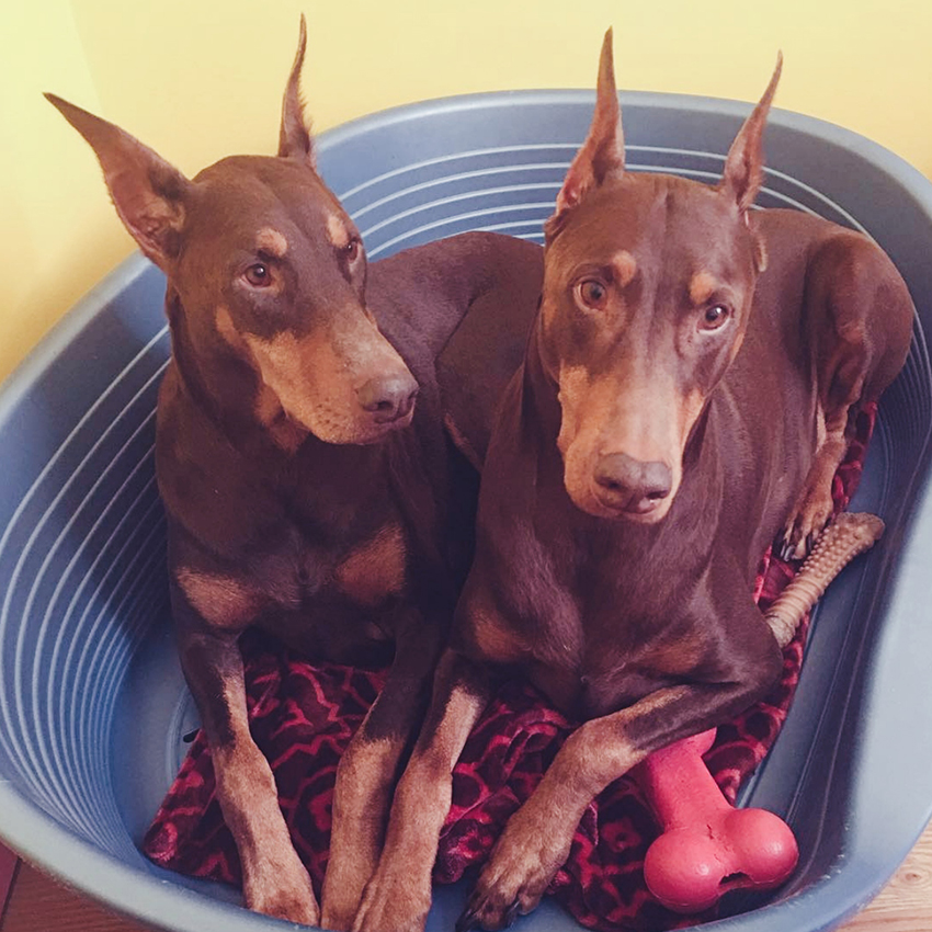 @royalreddobermans