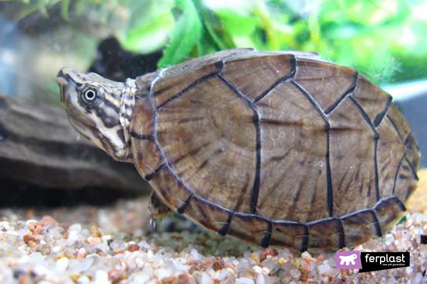 Caratteristiche diverse tartarughe acquatiche love ferplast for Terrario per tartarughe acquatiche