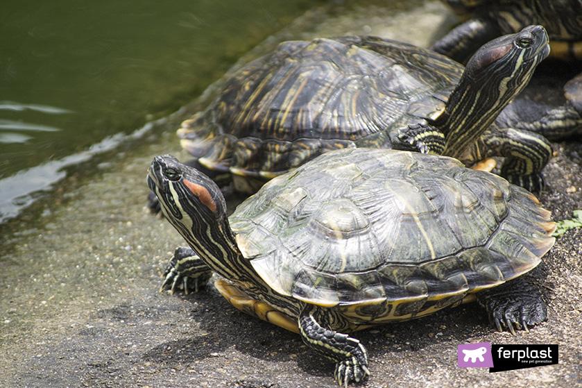 Caratteristiche diverse tartarughe acquatiche love ferplast for Acqua tartarughe