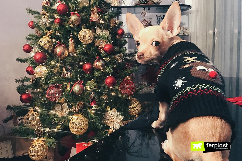 chihuahua-cane-maglione-inverno-razza