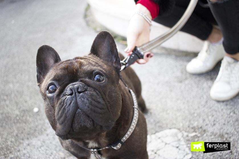 french_bulldog_caratteristiche_fisiche