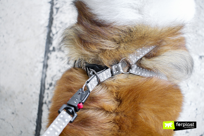 collie-cane-razza-guinzaglio