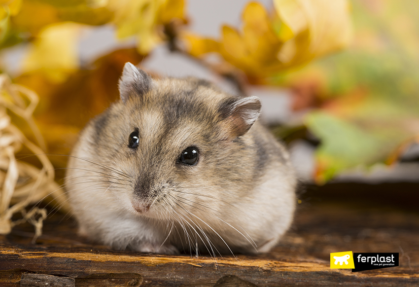 ferplast-criceto-russo-hamster-cura