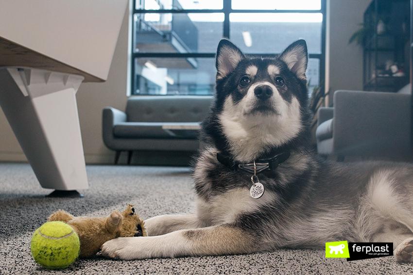 blog-ferplast-pomsky-pet-lovers