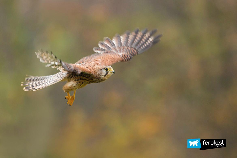falchi-migrazione-primavera-uccelli